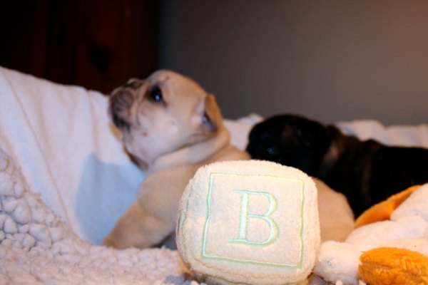 """B"" is for my French Bulldog Boys"