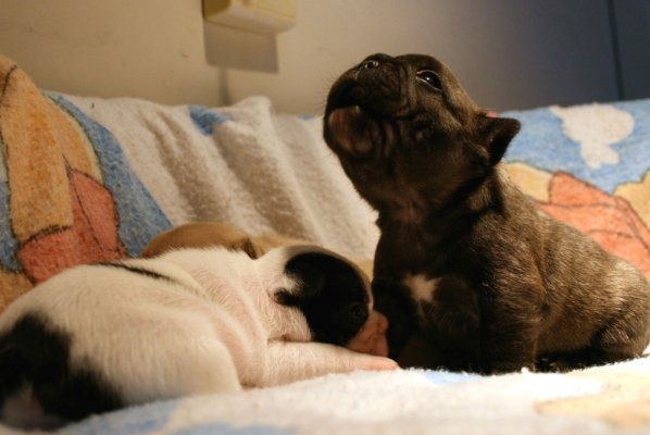 Singing Simon the French Bulldog Puppy