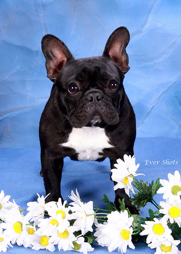 Magic, missing or stolen French Bulldog, Texas