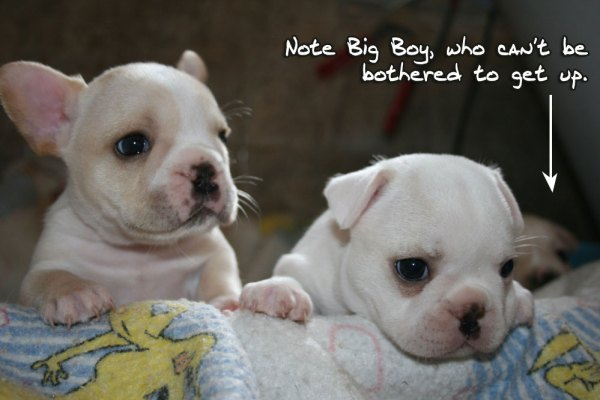 Butters' French Bulldog puppies