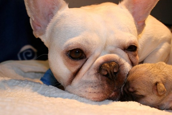 French Bulldog mother with puppies