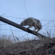 man frees coyote trapped in barbed wire fence - video