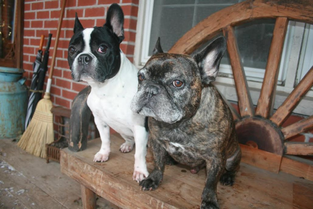 Adoptable Pair of Senior French Bulldogs Available