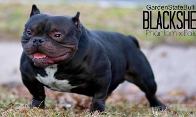 Garden State Bulliez Black Sheep