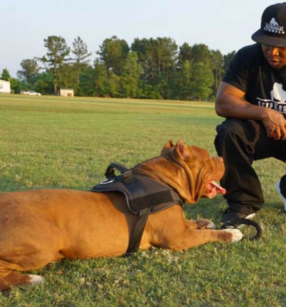 Bully Muscletone Hector Dog Bully Dogs Bullying Pitbulls