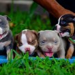 American-Bully-Pocket-Puppies-For-Sale-Venomline-Extreme-Bullies