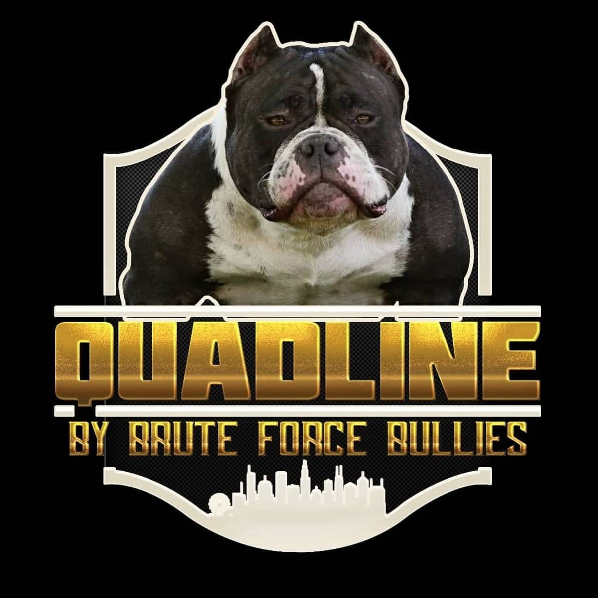 Quadline_American_Bully_Bloodline_Brute_Force_Bullies