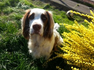 A liver and white springer spaniel