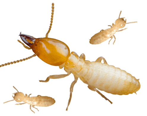 images of termites in different sizes