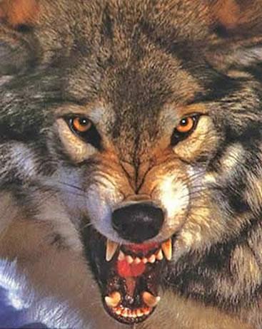 wolffather