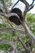 Termitennest - da der Boden zu hart ist bauen sie ihr Nest in den Bäumen