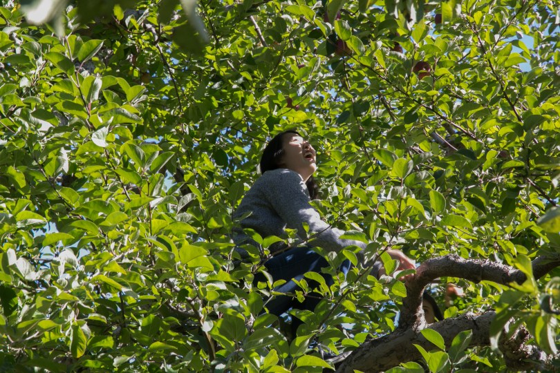 Gloria Chan, 21, a student of psychology and journalism at BU, trys to grab the apples at the far end of the branches. Photo by Silvia Mazzocchin/BU News Service