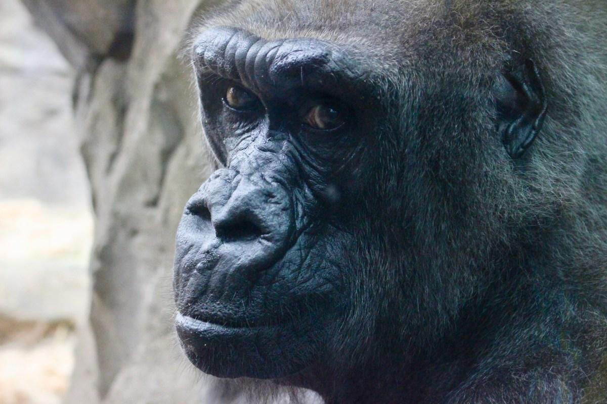 Jen Bradley, An Artist Drawn By Apes