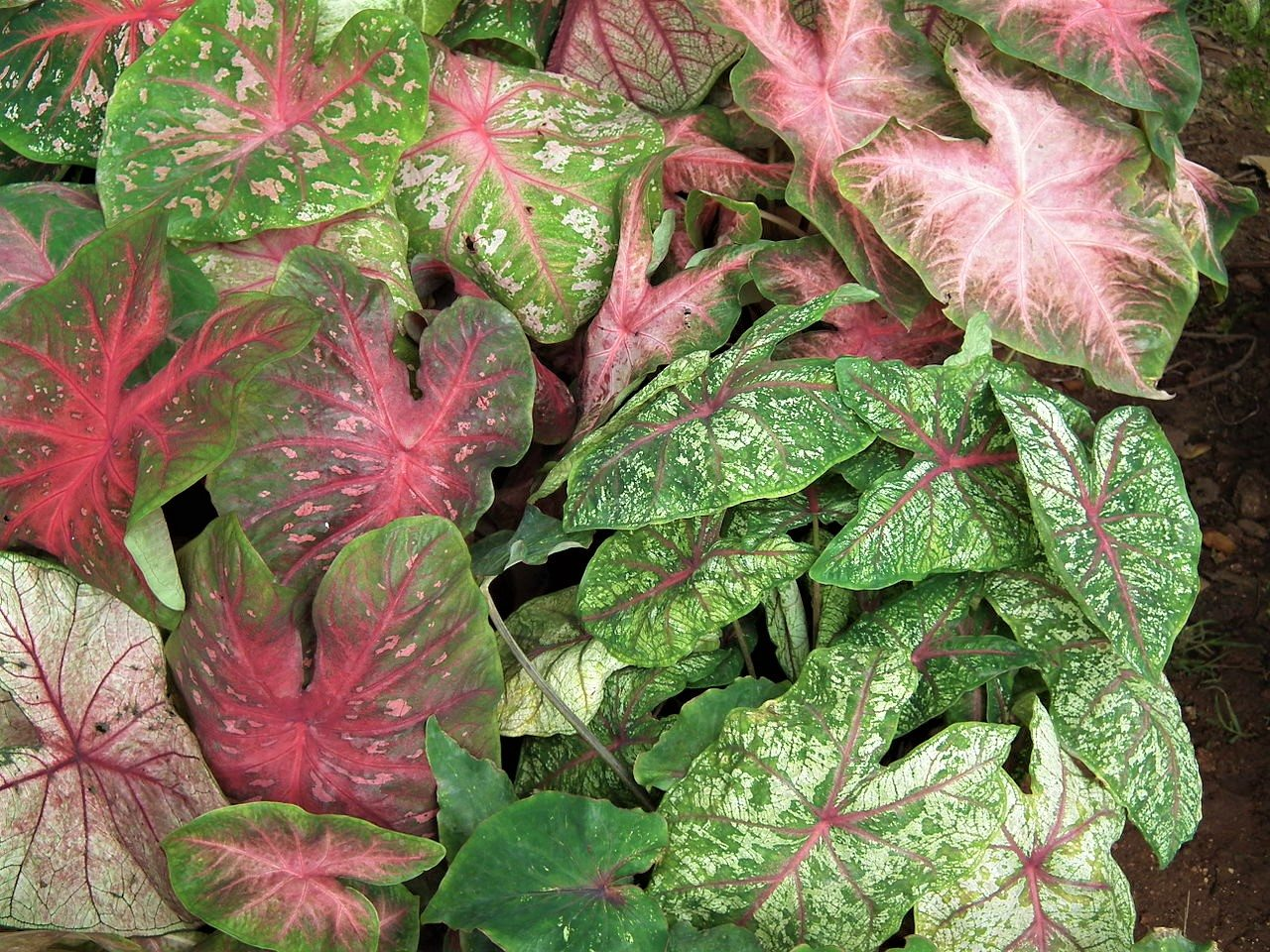 keep winter park beautiful selling caladiums at farmers market