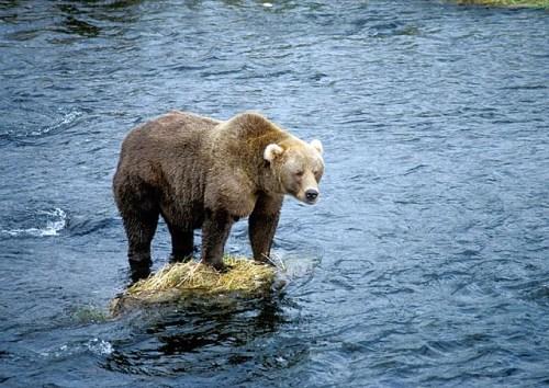 brown-bear-1186011_640