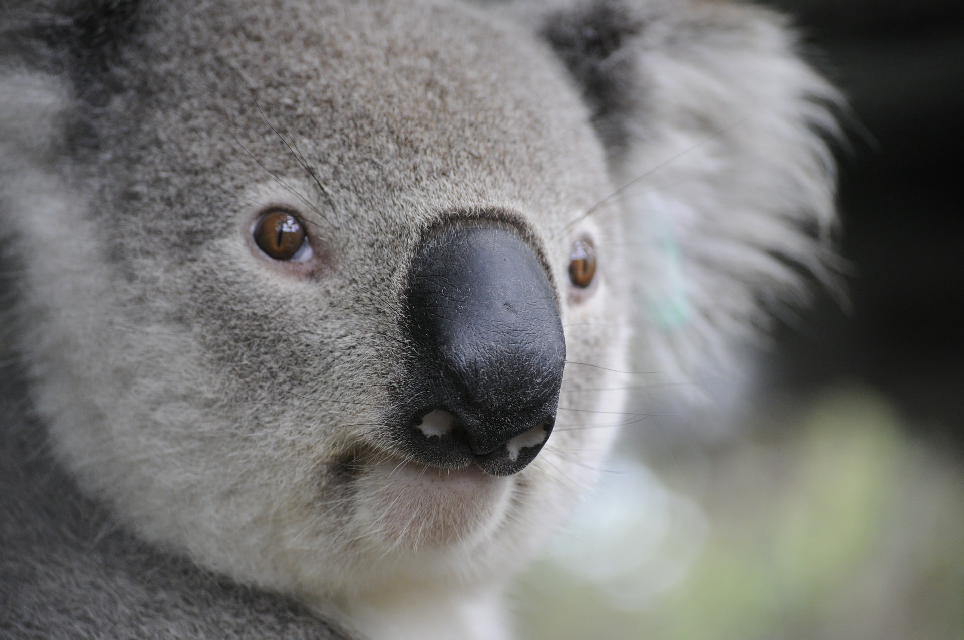 How to Make Peace With The Adorable Koalas Your Boss Hired by Toria  Sheffield