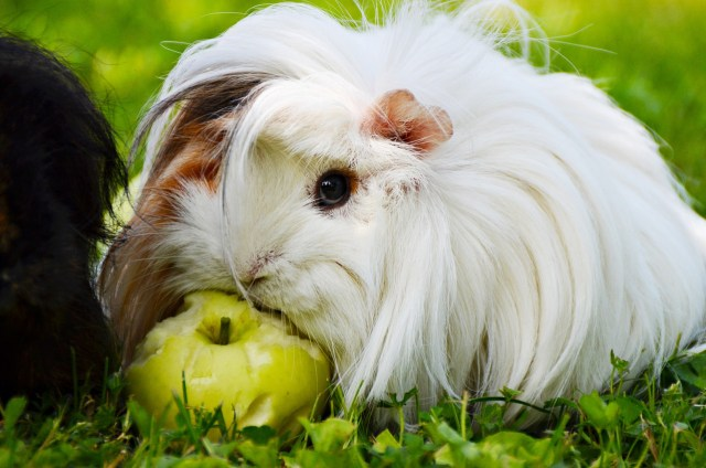 guinea pig makeup
