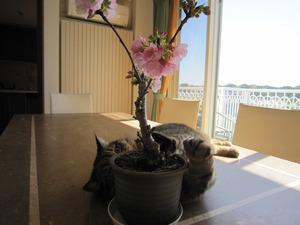 一歳桜とマンチカン