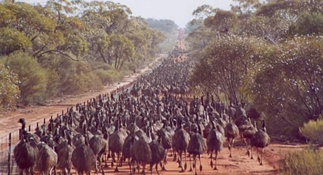 guerre ridicole emù