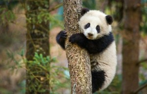 The Disney Nature Film, Born In China, Highlights One Of The Most Beautiful Creatures, The Panda