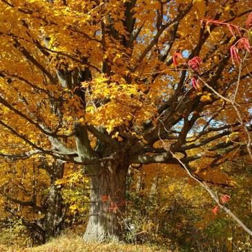 Trees #3, Sugar Maple