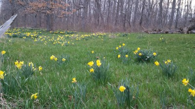 daffodils on Morrison Point Rd