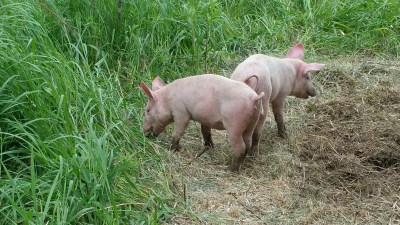 sunburned piglets