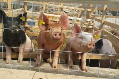 Pigs no more