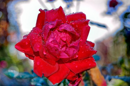 A rose in dew