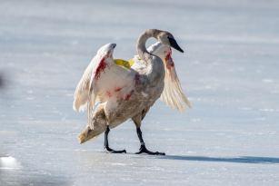 swan Wing Damage 2