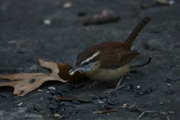 Carolina Wren with sunflower seed at Lasalle Park in Burlington, ON