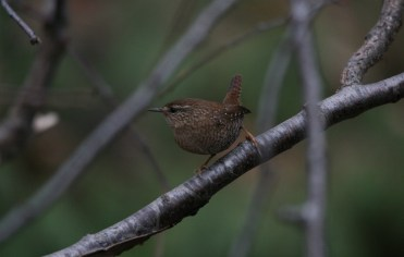 Winter Wren posing at Lasalle Park in Burlington, ON