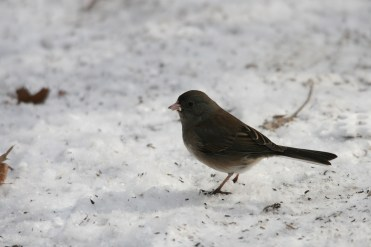 Dark-Eyed Junco at High Park in Toronto, ON