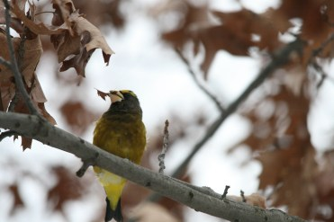 Male evening grosbeak with bit of leaf at High Park in Toronto, ON