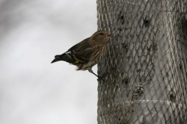 Pine Siskin eating nyger at High Park in Toronto, ON