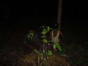 ကိုင်းဆက်မျိုးပွားနည်းဖြင့် စိုက်ပျိုးထားသော ဘိန်းစာပင်(NMSP)
