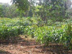 မွန်ပြည်နယ် မုဒုံမှ ရာဘာ ပျိုးပင် စိုက်ခင်း တစ်နေရာ။ (Photo: Wikipedia)