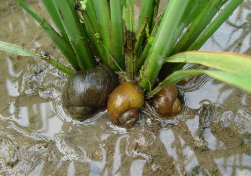 စပါးပင်ကိုက်သော ခရုအမျိုးအစာ(Internet)