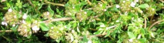 thymeflowerbanner
