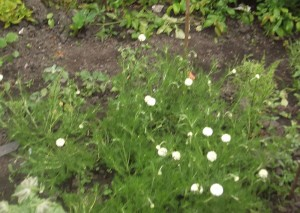 chamomile lawn2