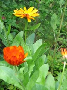 upright marigolds