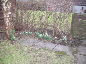 snowdrop hedge