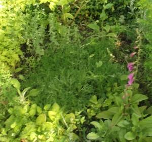 chamomile lawn july
