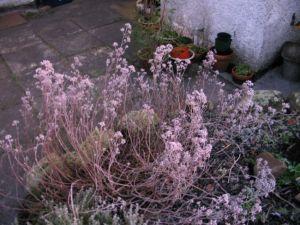 frosty herbs