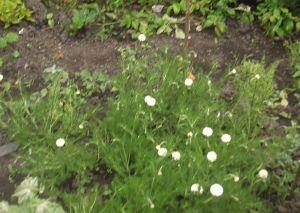 chamomile-lawn2
