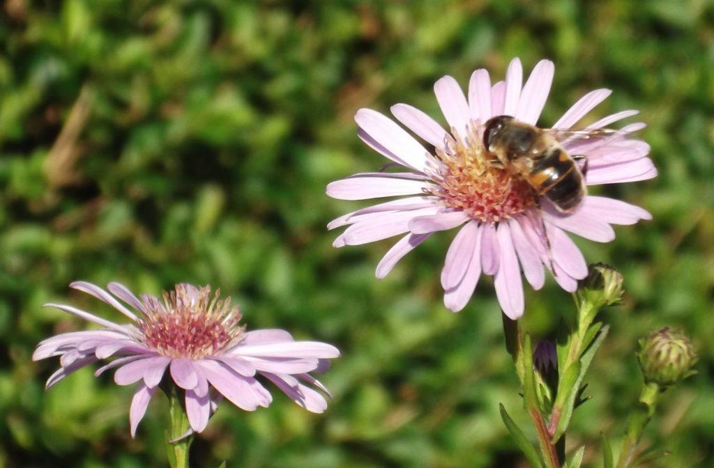 honey bee on michaelmas daisy