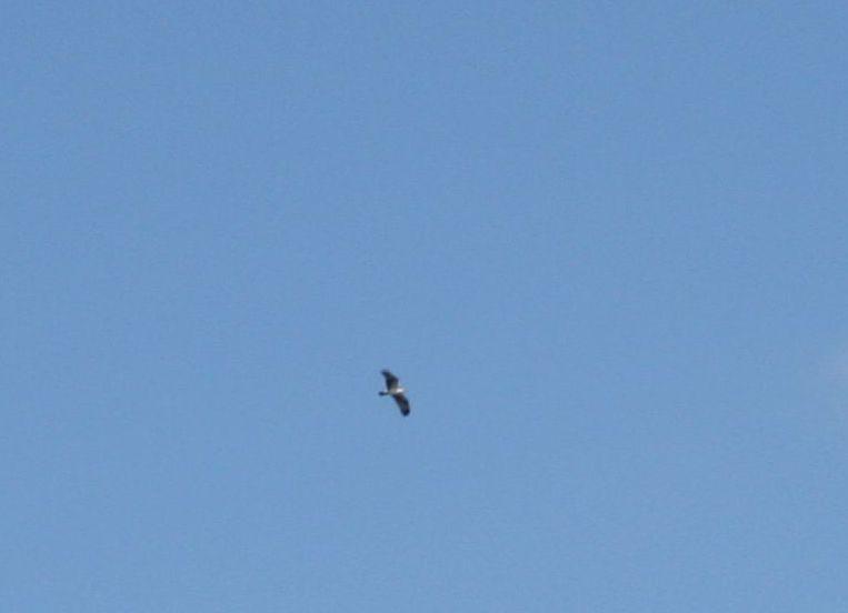an osprey circling