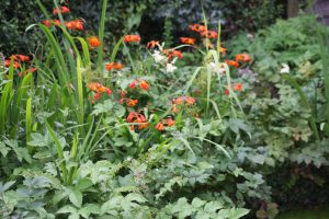 meadowsweet and crocosmia on the edge of the pond