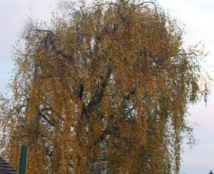 Birch tree, lots of golden leaves