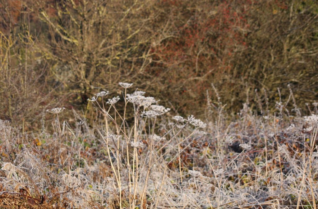The haggard  - overgrown with hogweed and willowherb, alder and wild rose - in winter